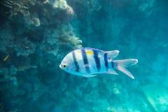 En slösar den randiga fisken Royaltyfria Foton