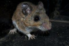 En smutsig mus lurar i mörkret. Royaltyfri Bild