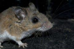 En smutsig mus lurar i mörkret. Arkivfoto