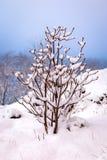 En snöig Bush med knoppar i vinter arkivfoto