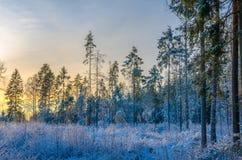 En snöig pinjeskog som badas i morgonsolljusglödet Arkivbild