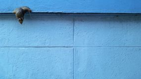 En snigel på den blåa väggbakgrunden Royaltyfri Foto