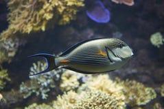 En Sohal surgeonfish royaltyfri fotografi