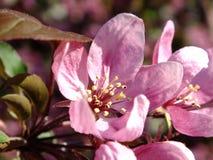 En solbelyst purpurfärgad blomning Royaltyfri Foto
