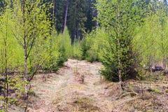 En solbelyst skogväg till och med nya björkträd fotografering för bildbyråer
