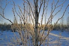 En solig dag i vinterskog Arkivfoto