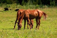 En solig morgon hästarna som betar i ängen Arkivfoton