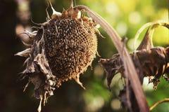 En solros är blommande Arkivfoto