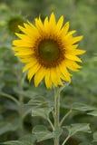 En solros Fotografering för Bildbyråer