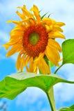 En solros exploderar i gul glans Arkivbild