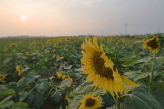 En solros i fältet fotografering för bildbyråer