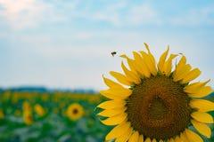 En solros i fältet arkivfoton