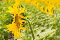 En solros mot bakgrunden av en ljus gul gräsplan su royaltyfri bild