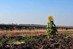En solros på kanten av plogad fältmylla Royaltyfri Bild