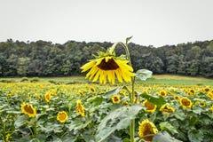 En solros som blommar i ett fält, jaspis, Georgia, USA arkivbild