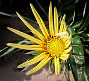 En solros som blommar i solskenet royaltyfri foto