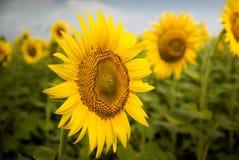 En solros som vändas mot till tittaren Arkivfoto