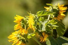 En solrosväxt som brister med blom royaltyfri bild