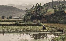 En som är kvinnlig i hattarbete i risfält i tråkigt molnigt väder fotografering för bildbyråer