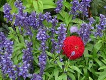 Blått Salvia och en röd Zinnia Fotografering för Bildbyråer