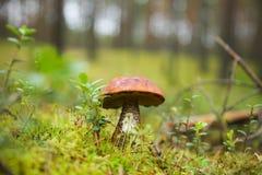 En sopp i skogen Arkivfoton