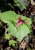 En sort av den intressanta växten i Gartineau parkerar Royaltyfri Foto