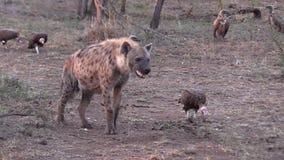 En sotted hyena och en med huva gam som tillsammans står lager videofilmer