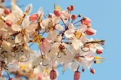 En souhaitant l'arbre, dentelez Showe, Cassia Bakeriana Craib Images stock