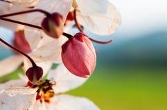 En souhaitant l'arbre, dentelez Showe, Cassia Bakeriana Craib Image libre de droits
