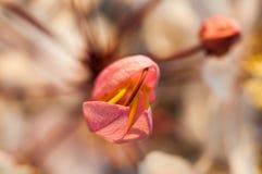 En souhaitant l'arbre, dentelez Showe, Cassia Bakeriana Craib Photos libres de droits