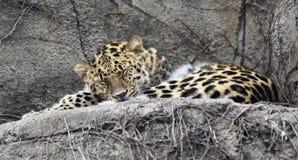 En sova Amur leopard Royaltyfri Bild