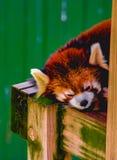 En sova röd panda arkivfoto