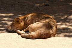 En sova vild hund Arkivbilder