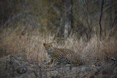 En spöke av djungeln en indisk closeup för fusca för leopardpantherapardus som stirrar safarimedel arkivbilder
