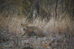 En sp?ke av djungeln en indisk closeup f?r fusca f?r leopardpantherapardus som stirrar safarimedel royaltyfri bild