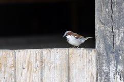 Sparrow Arkivfoto