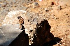 Sparrowfläck på hans baksida royaltyfri foto