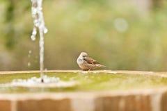 En sparv i fontain Royaltyfri Foto