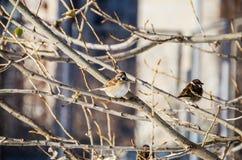 En sparv på ett träd i vinter arkivbilder