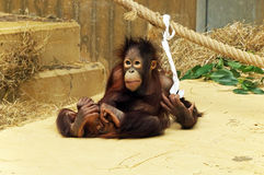 En spela ung orangutang-utang Arkivfoton