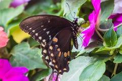 En spicebushswallowtailfjäril på en impatiensväxt arkivbilder