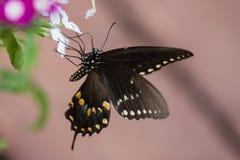 En spicebushswallowtailfjäril på en impatiensväxt arkivbild