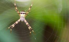 En spindel som väntar dess rov royaltyfri bild