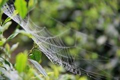 En spindel vävde dess rengöringsduk i en buske i Kina Royaltyfri Fotografi