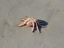 En spindelkrabba på stranden royaltyfria foton