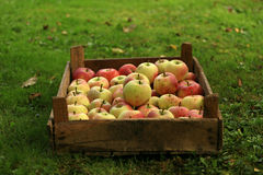 En spjällåda av organiska äpplen Royaltyfria Foton