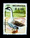En stämpel som skrivs ut i Nicaragua, visar en bild av den aveDomesticas Correos gåsen arkivbild