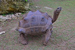 En stående Aldabra jätte- sköldpadda med hennes fyra starka ben Royaltyfri Foto