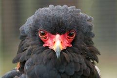 En stående av en Bateleur Eagle Fotografering för Bildbyråer
