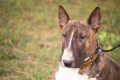 En stående av en brun bull terrier hund i gräset Royaltyfri Bild